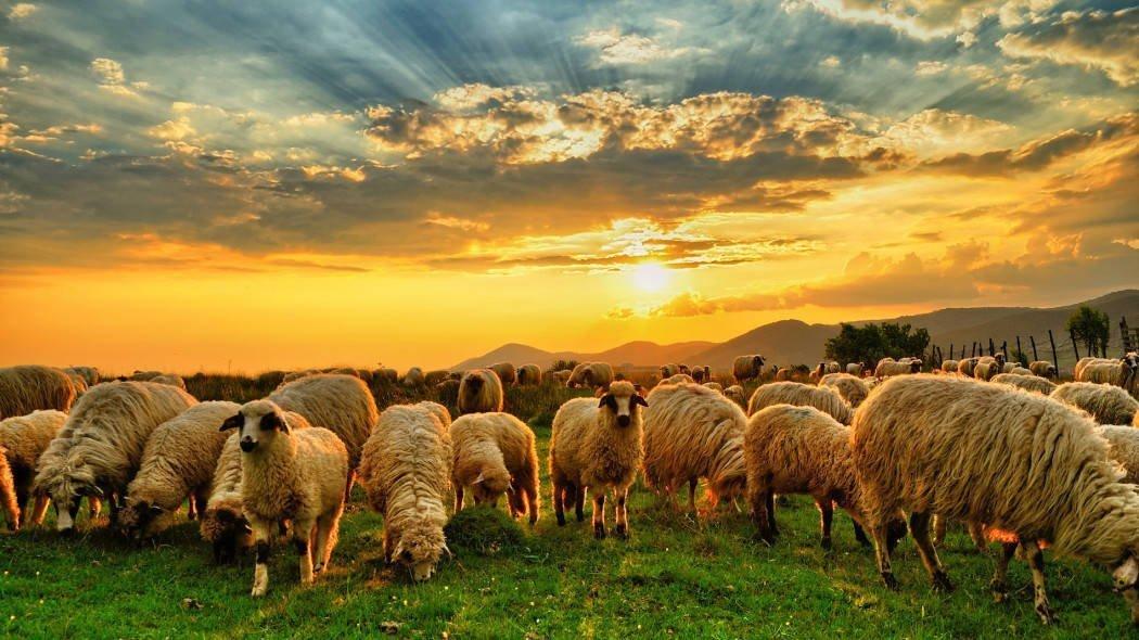 Die Herder en sy kudde