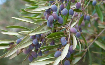 Die illustrasie van die olyfboom